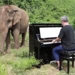 Пианист играет музыку больным слонам. Им от этого становится легче